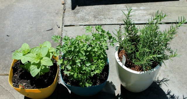 Left: Chocolate mint Center: Flat leaf parsley Right: Rosemary