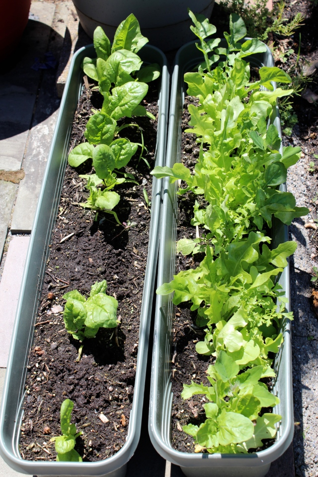 Spinach (left) and mixed lettuces