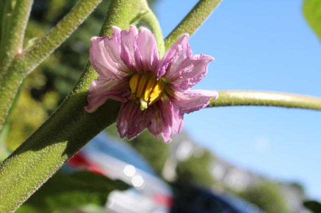 Such a pretty eggplant blossom!